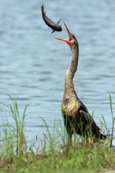 Anhinga. The Anhinga, sometimes called Snakebird, Darter, American Darter, or Water Turkey, is a water bird of the warmer parts of the Americas. The word anhinga comes from the Brazilian Tupi language and means devil bird or snake bird.