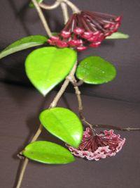 Hoya carnosa (dark pink flowers)