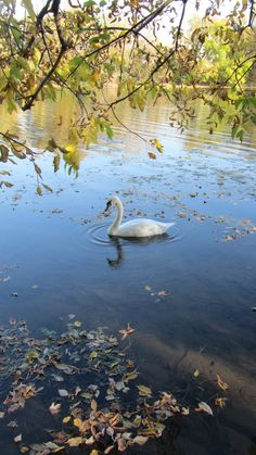 Sightseeing Ottawa - A Travel Photo by Mitchel Pennell showing a white swan swimming on the Rideau River in Canada's Capital city Ottawa. #SightseeingOttawa  http://www.farawayvacationrentals.com/view-blog/The-White-Swan:-Sightseeing-In-Ottawa/169