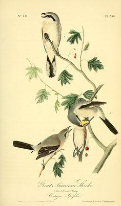 1842, v 4 - The birds of America :John James Audubon - Biodiversity Heritage Library  -  Great American Shrike