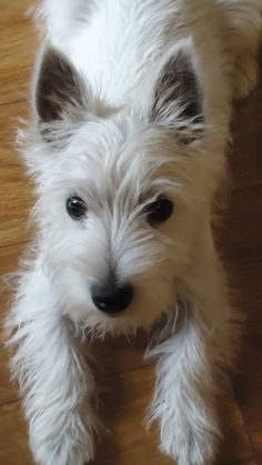 Westie puppy: this is going to be mine one day! :)