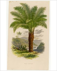"Photograph-Palm Tree Sago 19C-10""x8"" print made in the UK"