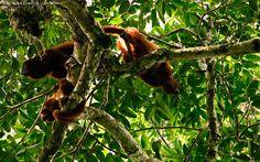 World's Loudest Animals: Howler Monkeys | National Geographic - August 7, 2013 [Pinterest Photography: Pablo Negri Edwards - Copyright © - Captured at Inkaterra Hacienda Concepción, Perú]