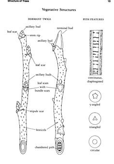 Learning a tree's botanical parts is useful for tree owner and forest manager. These tree parts and markers help make positive tree identification.: Parts of a Tree, Use a Twig to Identify a Tree Deciduous Trees, Trees And Shrubs, Trees To Plant, Garden Trees, Fruit Trees, Tree Leaves, Tree Branches, Horticulture, How To Identify Trees