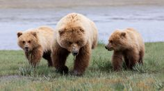 Мама ж/медвежата Джонатан Derden на 500px