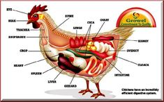 The Poultry digestive system is very simple but efficient when compared to many other species, such as cattle. It is simple but effective digestive systems Poultry Management, Chicken Anatomy, Chicken Incubator, Chicken Chick, Chicken Ideas, Chicken Cages, Animal Science, Animal Fun, Chicken Breeds