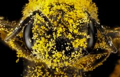 Bee covered in pollen. The USGS Native Bee Inventory and Monitoring Program has released detailed macro photographs of native #bees and the #plants and #insects with which they interact.