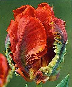 Parrot Tulip Rococo (red and green)  - lovely to see  --  another:  http://pinterest.com/pin/131026670379083148/