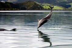 Look at me! Dolphins at play Whangaroa Harbour.Northland New Zealand