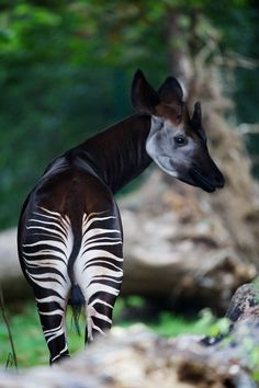 Okapi closely related to the giraffe. The okapi and the giraffe are the only living members of the family Giraffidae. Rare Animals, Animals And Pets, Funny Animals, Strange Animals, Mundo Animal, My Animal, Zebras, Beautiful Creatures, Animals Beautiful