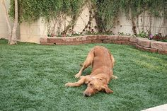 ProGreen Synthetic Grass started in 1987 and has been producing and installing our artificial grass products for 30 years. Fake Turf, Fake Grass, Pet Grass, Grass Stains, Small Backyard Patio, Artificial Turf, Dark Winter, Dog Runs, Dog Love