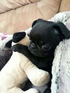 Pug, Dog, Pug puppie, sleepy, cute dog, sleepy dog, dog heaven, dog accessories, dog love