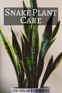 Do you love your snake plant? Show it some real lovin' by making sure it stays alive! Check out this post on proper Snake Plant Care! Mother In Law Plant, Mother In Law Tongue, House Plants Decor, Plant Decor, Water Plants, Garden Plants, Terrarium Plants, Snake Plant Care, Apartment Plants