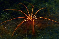 Sea Spider: Pycnogonids are found all over the world, from coastal tropical waters to the poles. They are also found at depths as great as 7,000 metres deep, though they are far more common in shallower waters. They range in size from a few millimetres of leg-span to giants with a legspan of 75 centimetres (2.8 ft). As of the late 1990's there were about 1,000 species known to science divided into 8 families and 86 genera. They are common in the Mediterranean, the Carribean and around the…