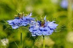 Beautiful and lacy bloom of a summer Love-in-a-Mist, Nigella damascene. The seed pods are unusual…