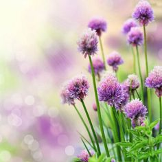 "If there were an award for ""easiest herb to grow"", growing chives would win that award. Learning how to grow chives is so easy that even a child can do it. Get growing tips for chives in this article. Plants For Small Gardens, Garden Plants, Herb Gardening, Permaculture Garden, Shade Garden, Container Gardening, Diy Garden, Edible Garden, Garden Ideas"