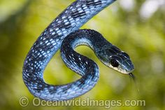 Google Image Result for http://www.oceanwideimages.com/images/8580/large/green-tree-snake-24T6686-03D.jpg