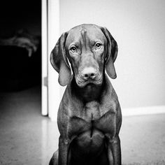 clickysparks:  Not going to lie….. I love this guy to pieces…. #perfectspecimen #vizsla #b&w #yeg #puppy #beautiful