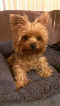 Yorkie ready to romp!