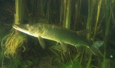 Pike locations vary depending on the season. Learn more about pike locations at HowStuffWorks.
