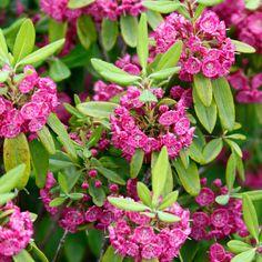 Kapealehtikalmia Rubra Climbers, Shade Garden, Evergreen, Spring, Shrubs, Trees, Seasons, Flowers, Plants