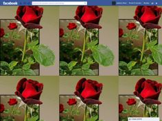 Facebook Themes: Rose | Funner Apps