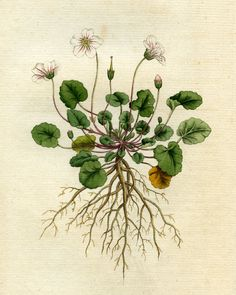 https://flic.kr/p/v2uRuc | Dwarf geranium, geranium Reichardi | Dwarf geranium, geranium Reichardi, illustration from a book published by William Curtis in 1787. ACM907.6.4 DPABRH54