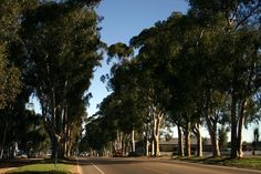Picture of Historic Colonnade Trees posted in the Ramona, CA gallery Street Trees, Yahoo Images, Image Search, Gallery, Plants, Roof Rack, Plant, Planets