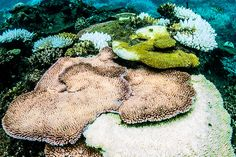 Greater levels of climate-related stress make it harder for corals to bounce back from bleaching events.