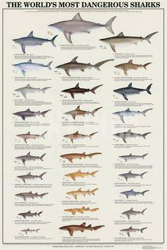 Worlds Most Dangerous Sharks Print at Art.com