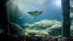 Een adelaarsrog in het zeeaquarium van Arnhem heeft als eerste vis ooit een anticonceptie-implantaat gekregen. Zo proberen biologen inteelt bij de vissoort tegen te houden. Deze rog had zich iets te succesvol voortgeplant en biologen wilden voorkomen dat er teveel eigenschappen van deze rog zouden voortkomen. Ze wilden ook voorkomen dat broers en zussen met elkaar zouden paren. Bij andere zoogdieren werd anticonceptie wel al toegepast.