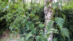 Pirkkalankoivu - Betula pendula f. birkalensis