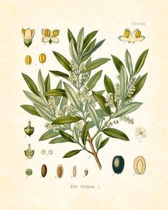 DÜNYANIN KUTSAL AĞACI: ZEYTİN   İlk çıkışı 39.000 yıl önceye dayanan zeytin ağacı, efsanelere konu olmuş, şifasıyla mucize kabul edilmiş ve Akdeniz'in en cazip özelliği haline gelmiştir.   https://www.facebook.com/Gastrorganik/photos/a.919805511412406.1073741829.897173933675564/929864800406477