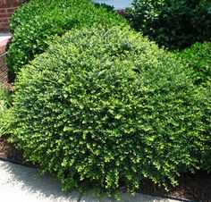 Helleri Holly evergreen low-growing mound plant. It stays compact and dense with little pruning or shaping.Full sun to part sun