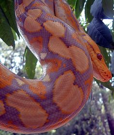 Reticulated python (Python reticulatus). The longest and third largest snake in the world.