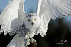 Glowing Snowy Owl in Flight Canvas Print / Canvas Art by Inspired Nature Photography Fine Art Photography Fine Art Photography, Nature Photography, Owl Wings, Canadian Wildlife, Canvas Art, Canvas Prints, Most Beautiful Animals, Winter Photos, All Birds