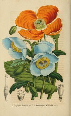 Papaver et meconopsis © Belgique Horticole 1854