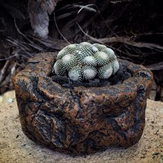 Blossfeldia liliputana in older pot of mine. Brian Paul Design.