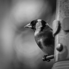 #canon7d #photography  #bird #birdfeeder #blackandwhite
