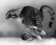 A cat runs at 40 kilometers an hour - Katzen - Chien Animals And Pets, Baby Animals, Funny Animals, Cute Animals, I Love Cats, Crazy Cats, Cool Cats, Beautiful Cats, Animals Beautiful