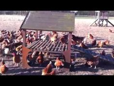 The Happy Egg co - Our happy egg hens enjoying the winter sun Winter Sun, Hens, Videos, Happy, Video Clip, Happiness
