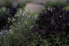 Perukbusken Cotinus Grace i samklang med trebladspiran Gillenia trifoliata och den svarta amerikanska Irisen 'Hello Darkness'.