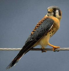 Kestrel Flight Patterns, American Kestrel, Peregrine, Birds Of Prey, Raptors, Bird Feathers, Beautiful Birds, Pet Birds, Creatures