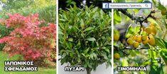 Δέντρα για μικρούς κήπους: Ιαπωνικός σφένδαμος, Πυξάρι, Ξινομηλιά