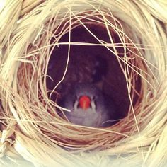 zebra finch...mine have made a nest but they just sleep and play in it.