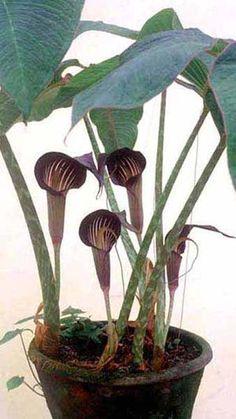 Arisaema speciosum - Cobra Lily