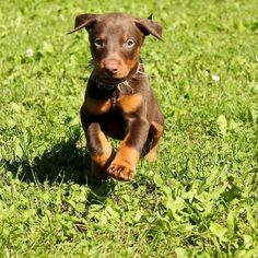 100 Most Popular Doberman Pinscher Dog Names