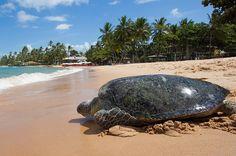 Tartaruga-verde marcada na Ilha da Trindade em 1996 é encontrada na Praia do Forte