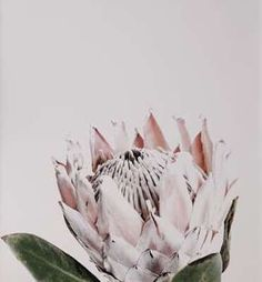 Donna Delaney is a Brisbane based photographer and we are so excited to welcome her prints to norsu! All prints are printed on beautiful thick fine art paper. Protea Art, Protea Flower, Flowers, Floral Prints, Art Prints, Floral Photography, Fine Art Paper, Framed Artwork, Pretty