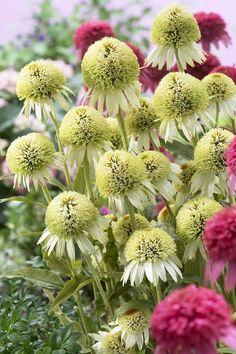 Echinacea 'Coconut Lime' - Plants Nouveau